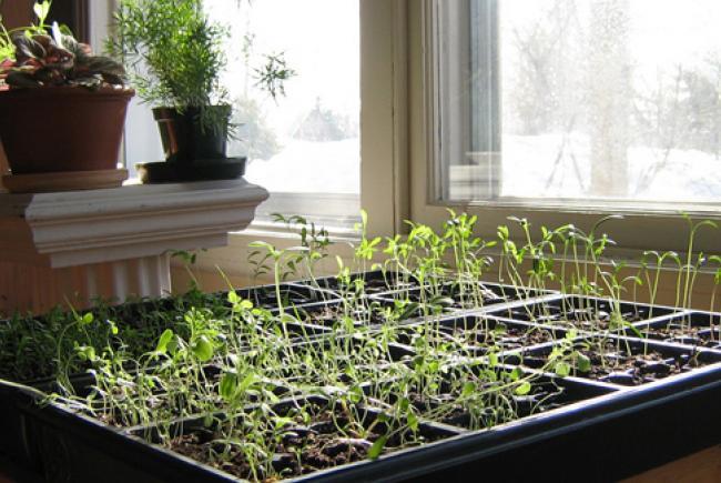 Semis de légumes © BleuNuit (flickr)