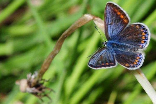 Bleu commun d'Europe (Polyommatus icarus) © Insectarium de Montréal (Maxim Larrivée)