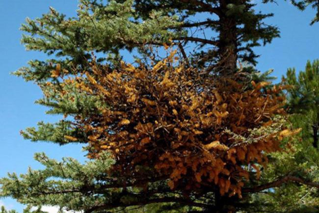 Chrysomyxa arctostaphyli © William M. Ciesla (forestryimages.org - 5382386)