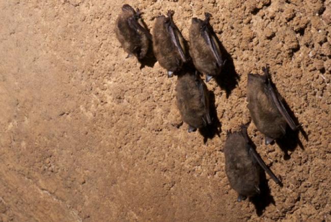 Chauve-souris brune - Myotis lucifugus