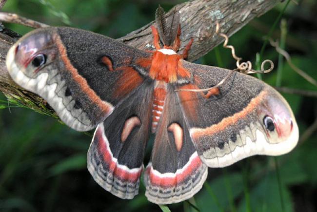 Hyalophora cecropia © cc Flickr (Marvin Smith)