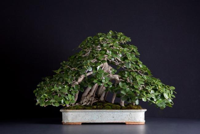 "Ficus microcarpa ""green island"""