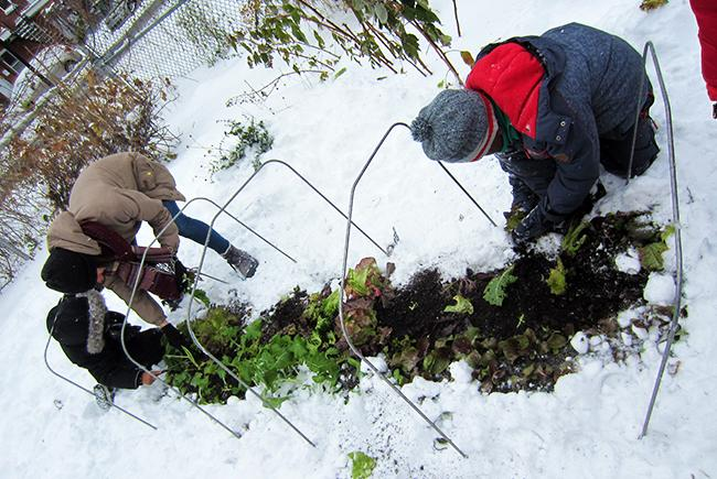 La neige est présente, mais c'est l'heure de la récolte. Les arceaux métalliques peuvent rester en place pendant l'hiver pour une installation rapide au printemps.