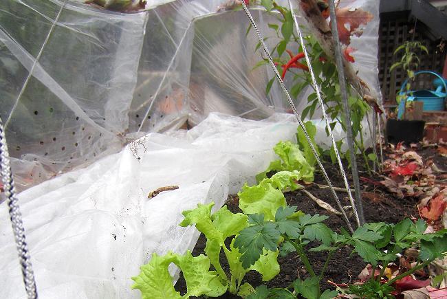Une couverture flottante sous un tunnel a permis de couvrir toute la planche du jardin.