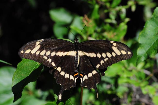 Papillon grand porte-queue