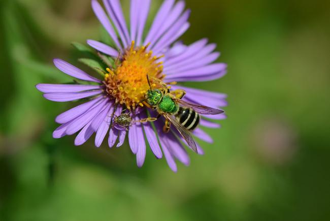 L'halicte vert (Agapostemon virescens) est une petite abeille solitaire très commune.