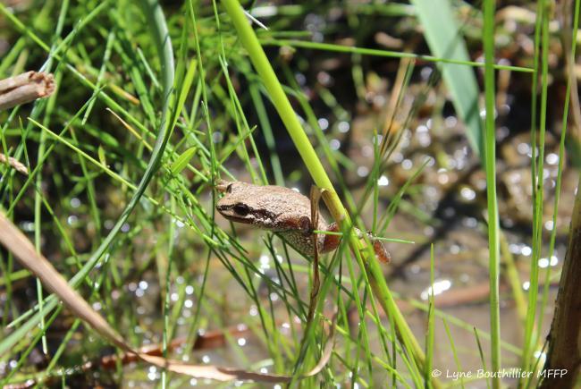 Jeune métamorphe (grenouillette) de rainette faux-grillon grimpant dans l'herbage à l'aide de ses petites ventouses.