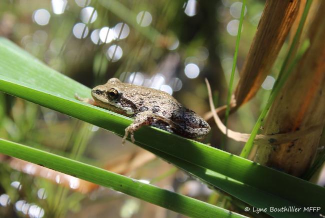 Jeune métamorphe (grenouillette) de rainette faux-grillon se reposant sur une feuille de quenouille.