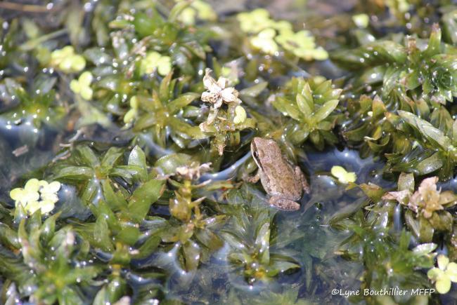 Jeune métamorphe (grenouillette) de rainette faux-grillon en déplacement dans la végétation aquatique.