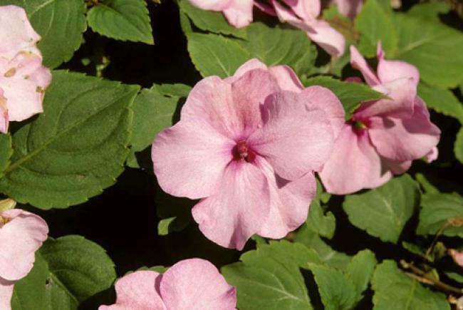 Impatiente (Impatiens walleriana 'Deep pink') © Jardin botanique de Montréal (Bertrand Dumont)