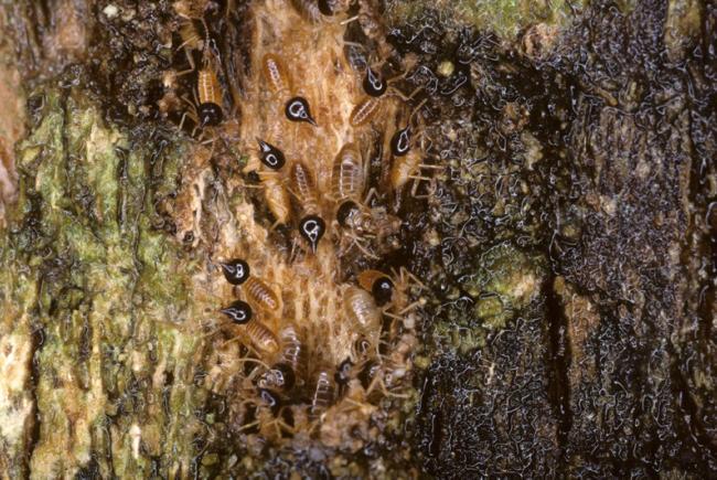 Photographiées au Costa Rica, ces termites du genre Nasutitermes contribuent de façon significative à la décomposition du bois mort des forêts tropicales.