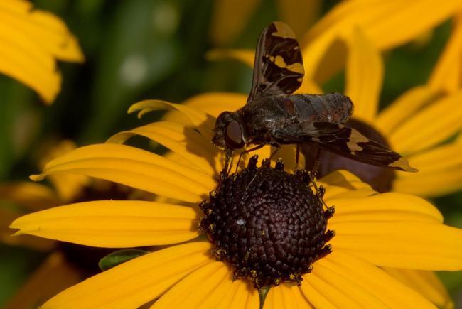 Les ailes des bombyles s'ornent souvent de motifs aux couleurs foncées.