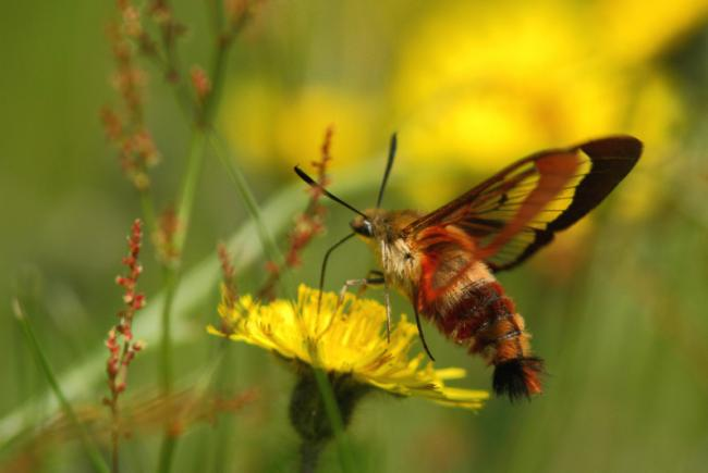 Hemaris thysbe / Hummingbird clearwing