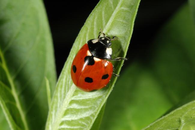 Coccinella septempunctata / Seven-spotted lady beetle