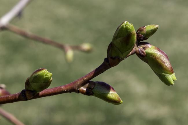 Sous l'effet de la chaleur, les bourgeons s'ouvrent et laissent apparaître de minuscules feuilles embryonnaires.