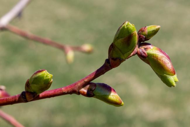 American basswood (Tilia americana)