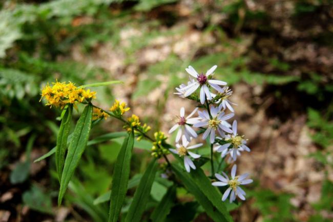 Heart-leaved aster (Symphyotrichum cordifolium (and Solidago caesia))