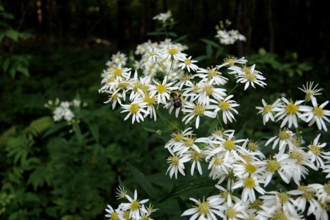 Flat-top white aster (Doellingeria umbellata)
