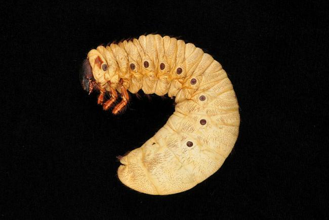 Dynastes hercules larva