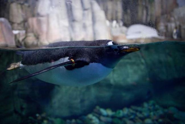Sub-Antarctic Islands (Gentoo penguin)