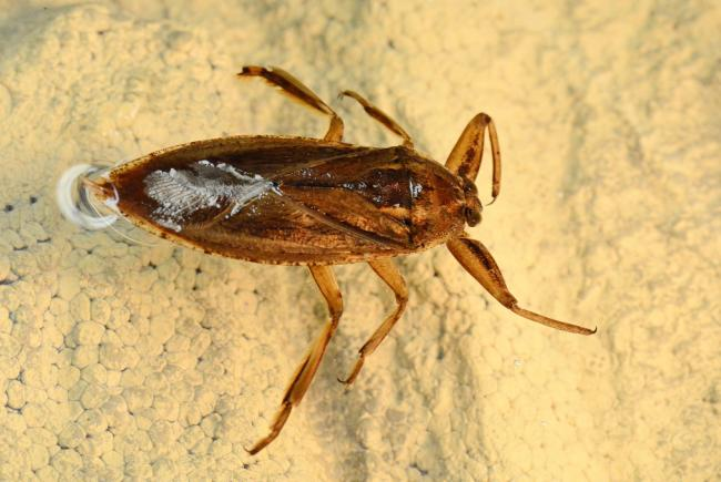 Lethocerus americanus