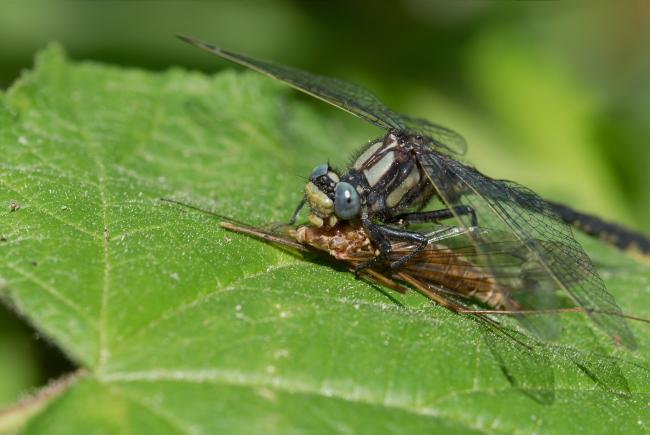 The dragonfly preys on other insects, but in turn will be eaten by another animal.