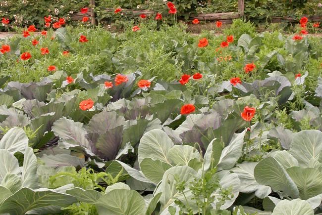 Fleurs et légumes au potager.
