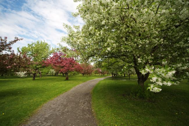 Spring blooms (Malus sp.)