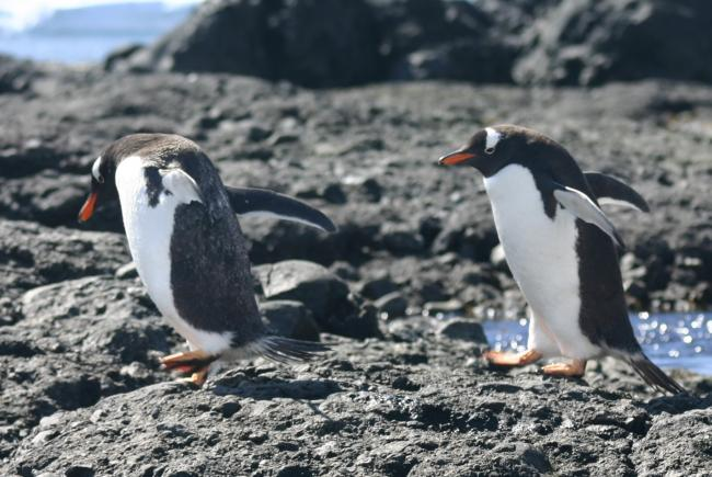 Gentoo penguins, South Georgia Island