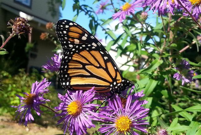 Un monarque dans un jardin, s'alimentant sur une aster.