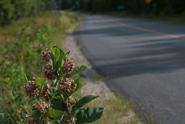 Plant d'asclépiades en bordure d'une route