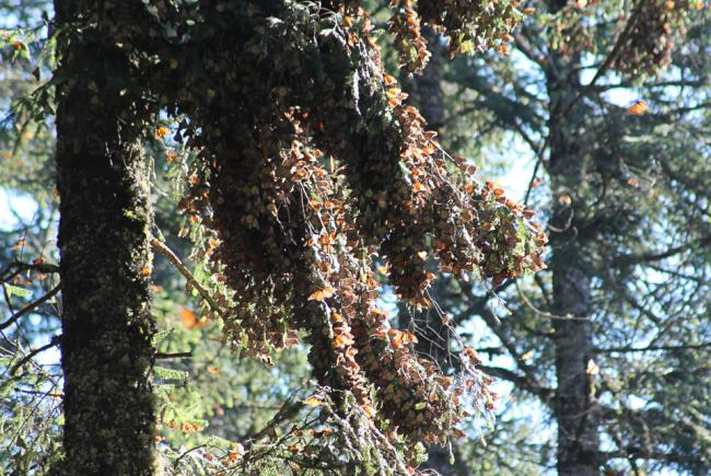Monarch clusters on oyamel firs