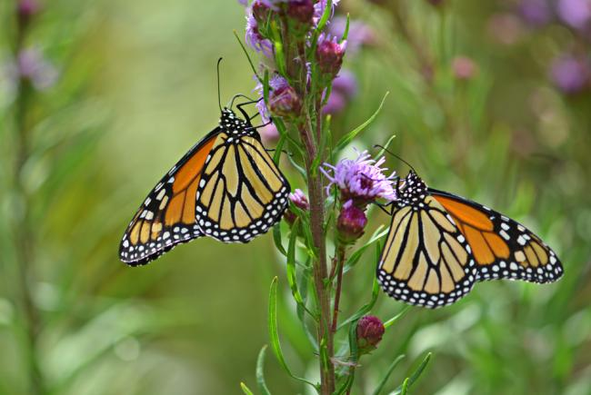 Monarchs on Liatris spicata