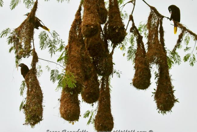 nids de cassique