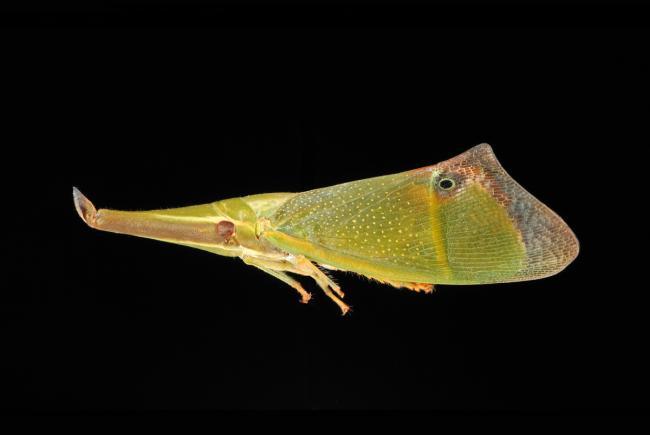 Odontoptera sp. - Guyane F.
