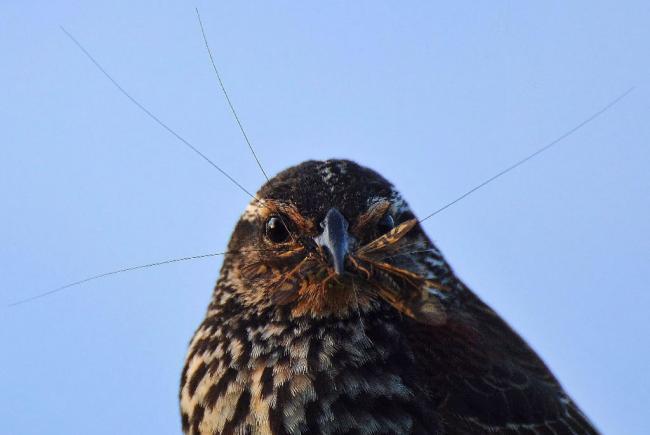 Les populations d'oiseaux insectivores ont diminué plus que tout autre groupe d'oiseaux.