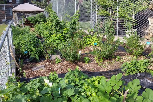 Vegetable garden at Garneau school