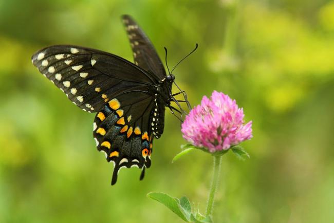 Papillon du céleri (Papilio polyxenes asterius)