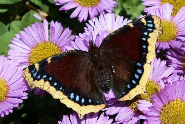 Papillon morio