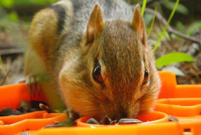 The chipmunk, an original rodent