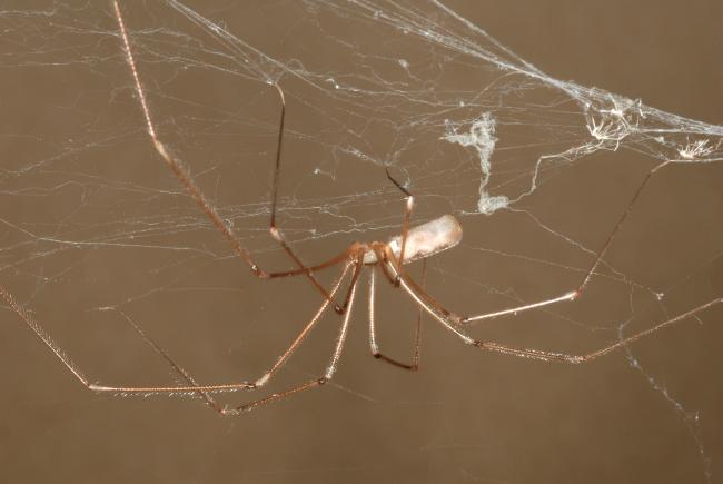 Vos voisines les araign es blogue espace pour la vie for Araigne sauteuse maison