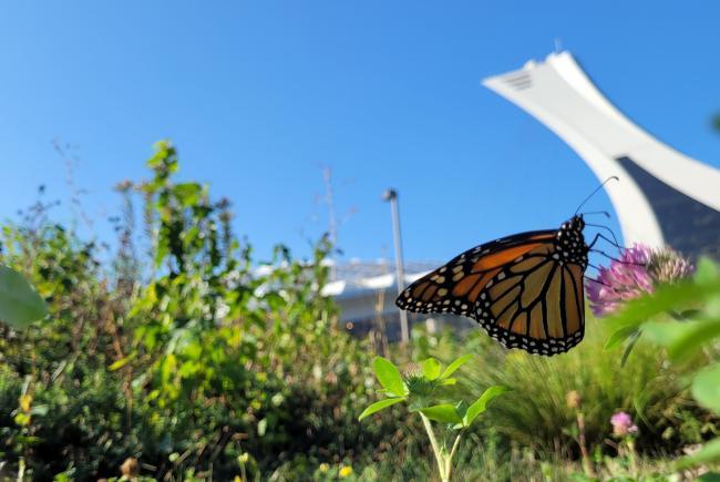 Même en zone urbaine, les monarques visitent les jardins.