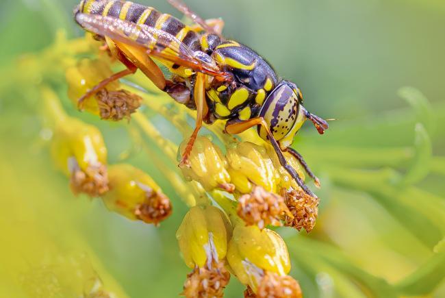 Spilomyia longicornis est une mouche pollinisatrice inoffensive qui imite les patrons de couleur d'une guêpe pour duper ses prédateurs. Ses pattes avant sont plus foncées pour ressembler aux longues antennes des guêpes!