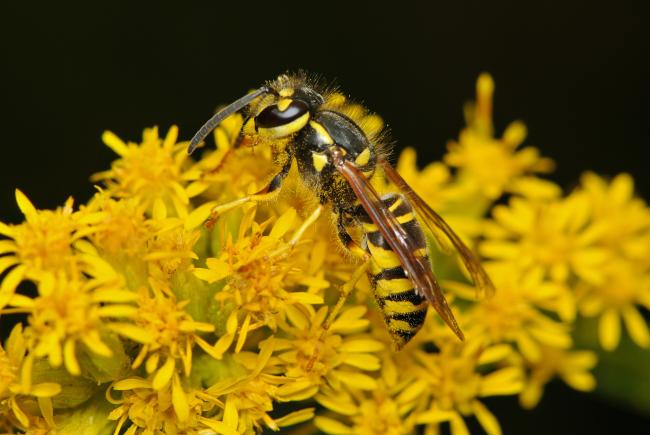 Les patrons de coloration jaunes et noirs de cette guêpe sont un signal aposématique clair et reconnu des prédateurs: cet insecte pique ! Plusieurs insectes inoffensifs imitent cette coloration pour duper leurs prédateurs.