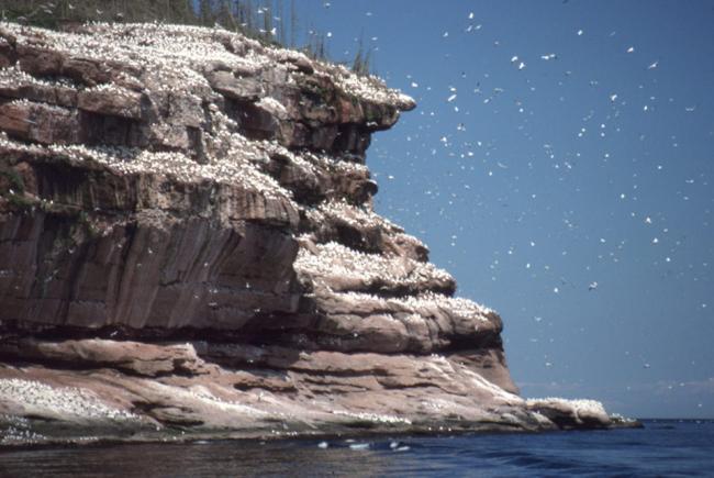 Les fous de Bassan que l'on retrouve par milliers au-dessus des falaises de l'île Bonaventure.