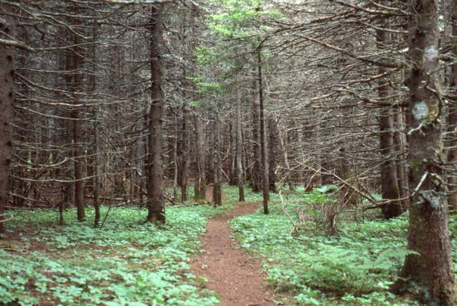 Une marche de deux kilomètres à travers les sapins rabougris.