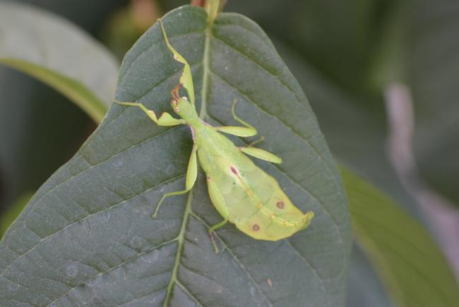 Leaf insect - Phyllium asekiense
