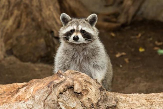 Procyon lotor (raccoon)