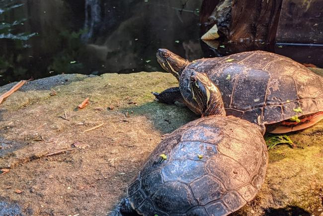 Les tortues du Biodôme sont retirés de leur écosystème à l'automne.