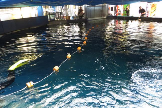 Transfert par seinage d'un banc de poissons du bassin de quarantaine au bassin d'exposition